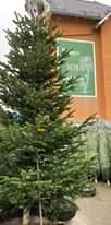 Bild könnte enthalten: Pflanze, Baum, Himmel, Weihnachtsbaum, im Freien und Natur